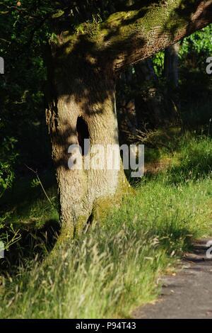 Mature English Oak Tree (Quercus robur) with Hole in the Trunk. Abernathy Glen, Perth, Scotland, UK. July, 2018. - Stock Photo