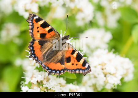 small tortoiseshell butterfly (Aglais urticae) feeding on white marjoram plant flowers in uk garden - Stock Photo