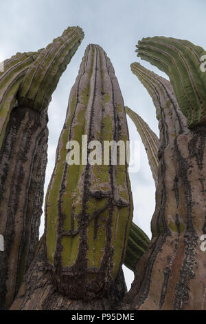 Cardon cactus, Baja California - Stock Photo