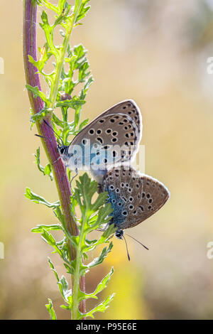 Large blue butterfly Maculinea arion on Collard Hill Somerset after its successful  reintroduction in the mid 1980s after becoming extinct in 1979 - Stock Photo