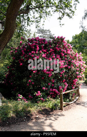 RHODODENDRON CYNTHIA. LORD PALMERSTON. AZALEA - Stock Photo