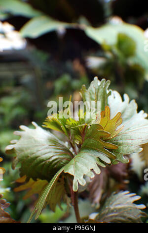 Close up of  an unusual plant with curling green leaves with red veins - Stock Photo