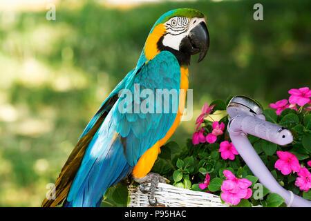 Blue and yellow macaw (Ara ararauna) - Stock Photo