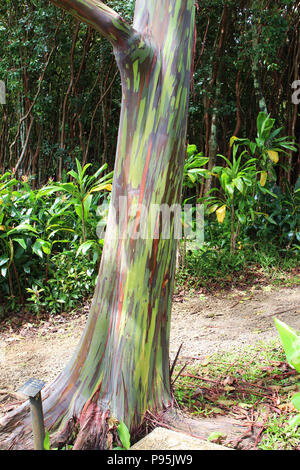The brightly colored trunk of a Rainbow Eucalyptus tree in Haiku, Maui, Hawaii, USA - Stock Photo