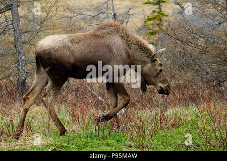 Wildlife, Moose calf.  Travelogue,  Travel Newfoundland, Canada,  Landscapes and scenic,  Canadian Province,  'The Rock' - Stock Photo