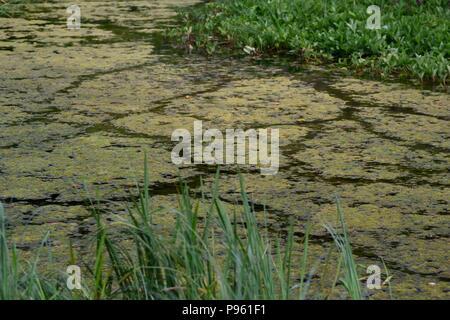 Overgrown Algae Covered Farm Pond. Abernethy, Perth, Scotland, UK. July, 2018. - Stock Photo