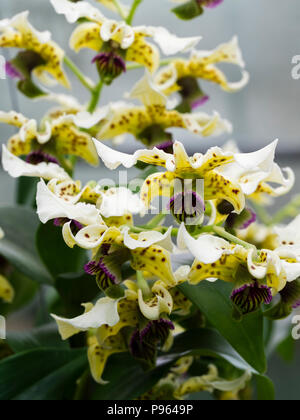 Spotted cream flowers and dark violet lip of the New Guinea epiphytic orchid, Dendrobium atroviolaceum - Stock Photo