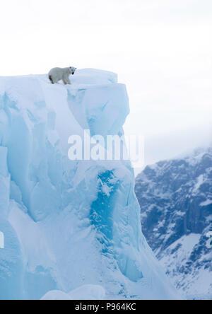 Polar bear cub looking down the face of an iceberg, Baffin Island, spring 2018. - Stock Photo