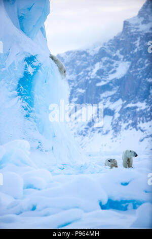 Mother and year old polar bear cub watch as second cub slides off the side of an iceberg.   (It was unhurt!) - Stock Photo