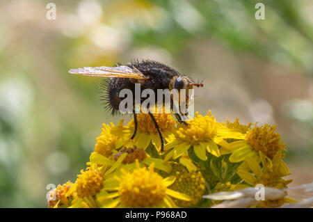 Tachina grossa fly nectaring. The largest European tachinid, in the family Tachinidae, with hairy black thorax and abdomen - Stock Photo