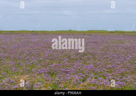 Common sea-lavender (Limonium vulgare) in flower. Expanse of purple flowers of plant in family Pumbaginaceae, at Gibralter Point in Lincolnshire, UK - Stock Photo