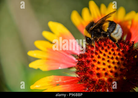 Bee on yellow and orange flower head of rudbeckia black-eyed susan - Stock Photo