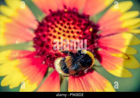 Bee on yellow and orange flower head of rudbeckia black-eyed susan - Stock Photo