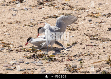 Arctic terns mating on a rocky beach on the Farne Islands - Stock Photo