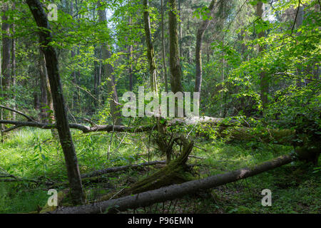 Barkless dead spruces in old summertime deciduous stand,Bialowieza Forest,Poland,Europe - Stock Photo