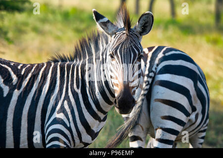Zebra, Zebras, Equus Quagga, Two, Pair - Stock Photo