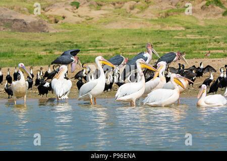 Great White Pelicans, Pelican, White Breasted Cormorant, Cormorants and Marabou Storks, Birds Kazinga Channel, Queen Elizabeth National Park, Uganda - Stock Photo
