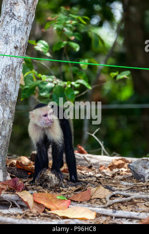 A white faced monkey with his hands resting on an old coconut shell in Manuel Antonio natural park in Costa Rica. - Stock Photo
