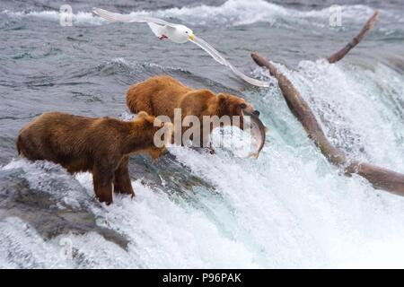 Grizzly bear catching salmon in Brooks Falls, Katmai, Alaska - Stock Photo
