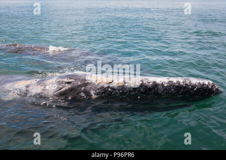 Mother and baby grey whale, Bahia San Ignacio, Mexico - Stock Photo