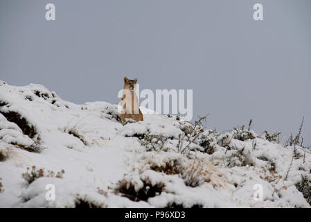 Adult female Patagonian Puma sitting on snow covered hill. - Stock Photo