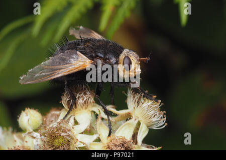 Tachina grossa tachinid fly perched on bramble flowers. Tipperary, Ireland - Stock Photo