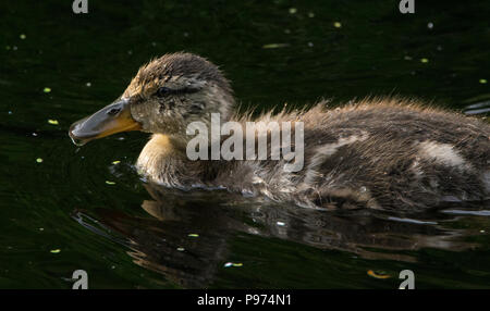 Baby duck swimming in a pond - Stock Photo