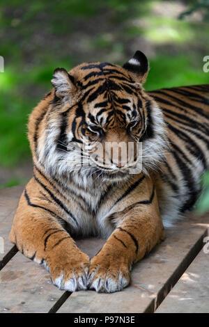 Sumatran Tiger, Panthera Tigris Sumatrae. Zoo animal.
