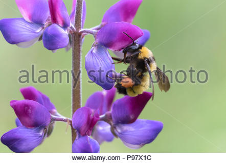 Sonoran bumble bee collecting pollen from lupine flower - Stock Photo