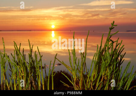 Swale Estuary, Kent, UK. 16th July 2018: UK Weather. Marsh Samphire at sunrise on the Swale estuary. An edible plant in season from late June through to mid August and sometimes known as sea asparagus or glasswort after it's use in glass making hundreds of years ago. A recent study has shown Samphire is under threat of being lost from coastal habitats in the South East as rising sea levels threaten the salt marshes in which it grows.  The hot weather continues   for another week. - Stock Photo