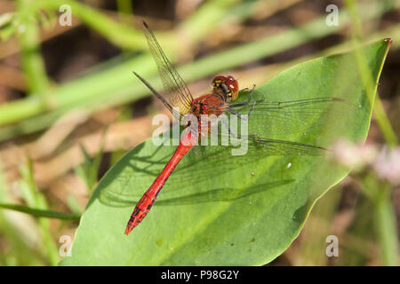 A male Ruddy Darter dragonfly, Sympetrum sanguineum, in the morning sunshine. - Stock Photo