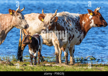 Cows with calves on the beach by the lake - Stock Photo