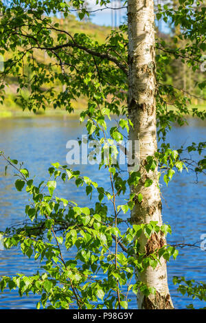 Birch tree trunk with leaves on the branches - Stock Photo