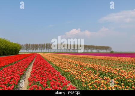 Flowering tulip fields on a sunny day in Holland with red, orange and pink tulips in full bloom. - Stock Photo