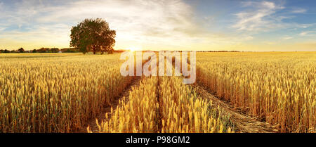Gold Wheat flied panorama with tree at sunset, rural countryside - Stock Photo
