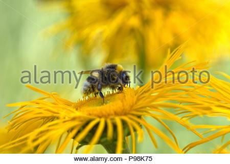 Eine dunkle Erdhummel, Bombus terrestris sammelt Pollen / Nektar auf der gelben Blüte einer Staude - Große Telekie - Telekia speciosa. - Stock Photo