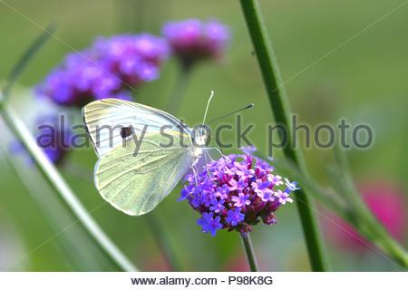 Der Große Kohlweißling (Pieris brassicae), ein Schmetterling (Tagfalter) aus der Familie der Weißlinge auf einer Blüte in einem Beet in Schleswig. - Stock Photo