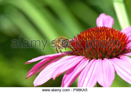 Purpur-Sonnenhut - Echinacea purpurea, auch Roter Scheinsonnenhut genannt. Foto der Blüte mit dem konischen Blütenkorb mit einer Wildbiene. - Stock Photo