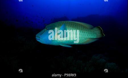 Humphead wrasse / Napoleonfish - Stock Photo