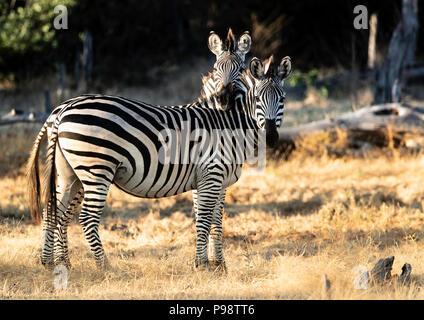 Chapman's Zebra, Mana Pools, Zimbabwe - Stock Photo