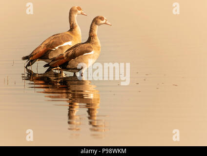 Pair of Egyptian Geese standing in shallow water, Chobe River, Botswana - Stock Photo