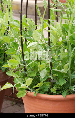 Lathyrus odoratus 'Matucana'. Young Sweet Pea 'Matucana' plants growing in a pot. - Stock Photo
