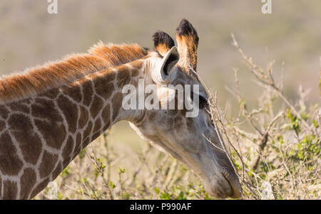 Giraffe eating leaves bending forward face and neck only in the wild in South Africa - Stock Photo