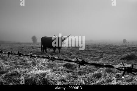 Black and white photo of highland cattle on a foggy morning in southwold Suffolk - Stock Photo