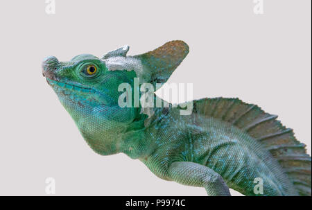 lizard named Plumed basilisk in light back - Stock Photo