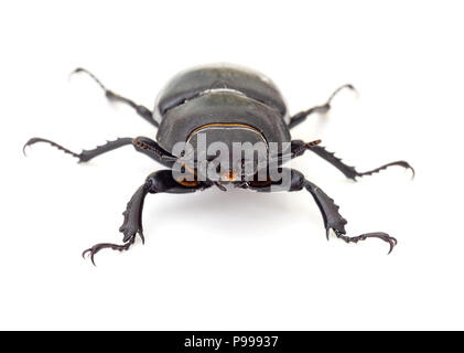 Lesser Stag Beetle, Dorcus parallelipipedus on white background - Stock Photo