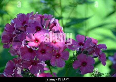 purple flowers in the rays of light on a background of green grass. - Stock Photo