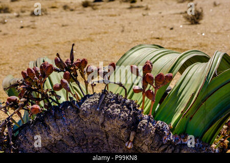 Close up of female cones and large leaves of the unique Welwitschia Mirabilis plant, native to Namibia against arid background of Namib desert - Stock Photo