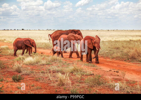 Group of African bush elephants (Loxodonta africana) red from dust, crossing the road during safari in Tsavo East national park, Kenya - Stock Photo