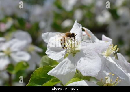 Honey Bee Macro in Springtime, white apple blossom flowers close up, bee collects pollen and nectar. Apple tree buds, spring background in South Jorda - Stock Photo
